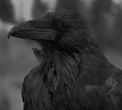 Treatise on the Night Raven Threat